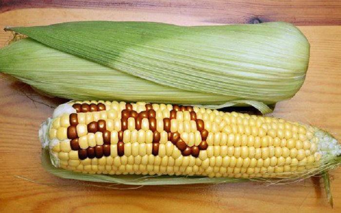gmo_corn_ear